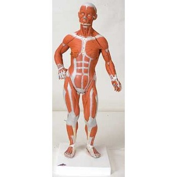 Muscular Figure (1/4 Life-Size, 2-Part)