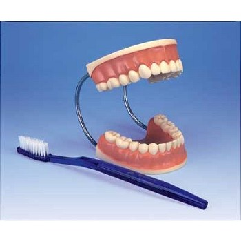 Giant Dental Care Model (3X Life-Size)