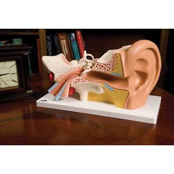 Classic Giant Ear (3X Life-Size, 4-Part)