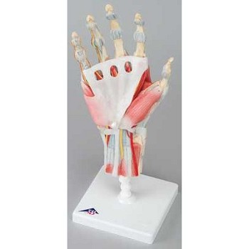 Hand Skeleton with Ligaments and Muscle