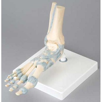 Foot Skeleton with Ligaments