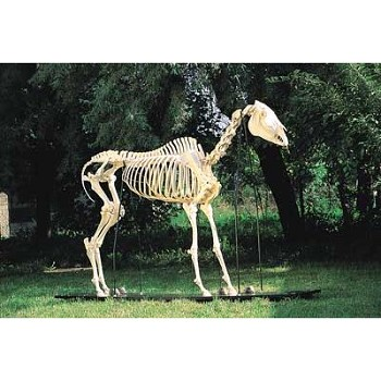 Horse Skeleton on Wooden Base
