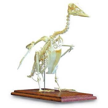 Goose Skeleton