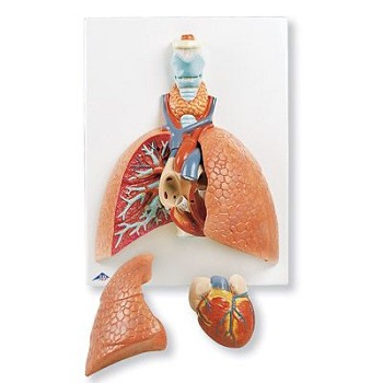 Lung Model (Life-Size, 5-Part)