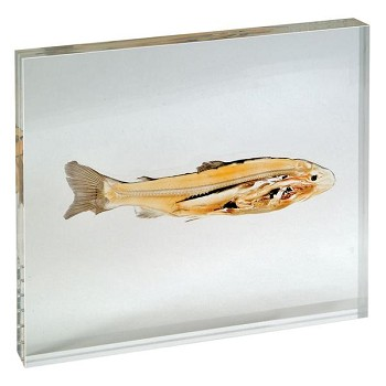 Fish (Plastinated Slices)